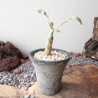 オトンナ  クレムノフィラ     no.002  Othonna cremnophylla