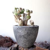 ロフォケレウス  福禄寿    no.001   Lophocereus schottii