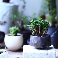 ユーフォルビア   花キリン  八房性   Euphorbia milii  no.71945