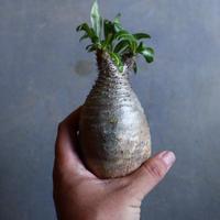パキポディウム グラキリス   Pachypodium rosulatum var. gracilius no.110329