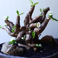 ユーフォルビア    イトレメンシス    Euphorbia itremensi  no.61620