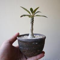 ドルステニア  フォエチダ  no.002    Dorstenia foetida