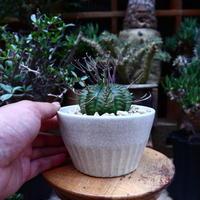 ユーフォルビア  バリダ/Euphorbia valida    no.60608