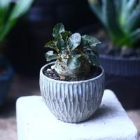 ドルステニア フォエチダ   Dorstenia foetida  no.61430