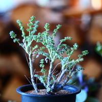 ペラルゴニム   アルテルナンス  Pelargonium alternans    no.111504④