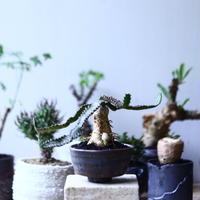 ユーフォルビア  飛竜   スクアローサ   Euphorbia  squarrosa  no.90615