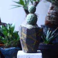 テフロカクタス    ゲオメトリクス   Tephrocactus geometricus  no.61429