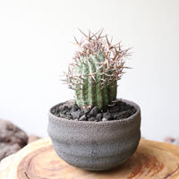 ユーフォルビア 群星冠     no.008   Euphorbia   stellispina