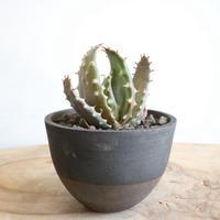 アロエ アクレアータ クロウジアナ   no.001   Aloe aculeata var crousiana