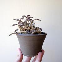 ユーフォルビア デカリー   no.005   Euphorbia decaryi