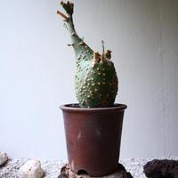 アデニア  グロボーサ    no.009   Adenia globosa