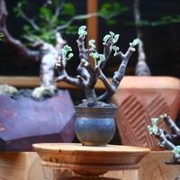 ペラルゴニム  ミラビレ/Pelargonium mirabile   no.101014
