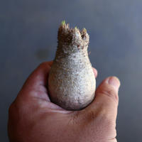 パキポディウム グラキリス 抜苗  Pachypodium rosulatum var. gracilius no.100608