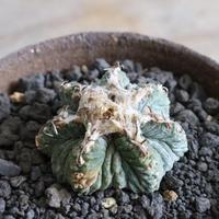 アズテキウム     ハナカゴ    no.002   Aztekium ritteri