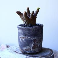 ユーフォルビア    イトレメンシス    Euphorbia itremensi  no.52619