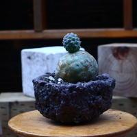 テフロカクタス  ゲオメトリクス/Tephrocactus geometricus   no.72533
