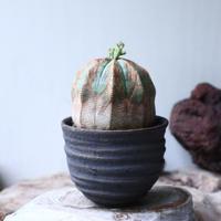 ユーフォルビア  オベサ ♀ Euphorbia obesa no.90811