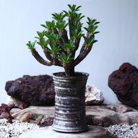 ユーフォルビア   ギラウミニアナ  Euphorbia guillauminiana  no.030