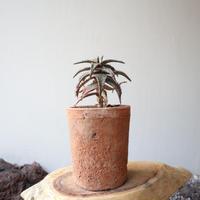 アロエ ジュクンダ   no.002    Aloe jucunda