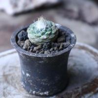 ストロンボカクタス  ディシフォルミス   菊水   Strombocactus disciformis no.90132