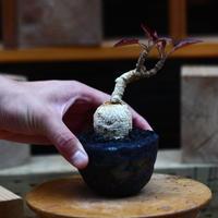 ユーフォルビア ラバティ/Euphorbia labatii  no.82242