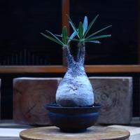 パキポディウム  グラキリス/Pachypodium  gracilius       no.62050