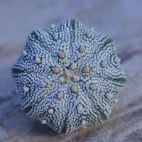アストロフィツム   スーパー兜 抜き苗  Astrophytum asterias 'Super Kabuto'      no.207/19