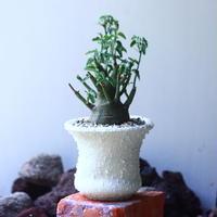 アデニア   スピノーサ   Adenia     spinosa    no.53104