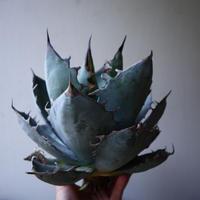 アガベ   チタノタ 〝アイス ブルー〟 Agave  titanota  ice blue   no.42827
