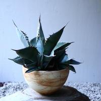 アガベ   ホワイトアイスブルー   Agave  titanota white ice blue   no.131521