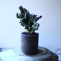 モンビレア 残雪の峰    Monvillea spegazzinii f. crist.   no.20208