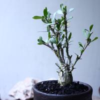 フォークイエリア  コルムナリス  観峰玉 Fouquieria columnari   no.102703