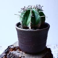 ユーフォルビア  バリダ   Euphorbia valida   no.20304