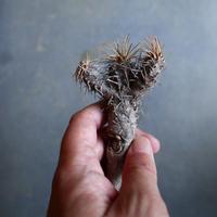 ユーフォルビア   ギラウミニアナ  Euphorbia guillauminiana  no.110302