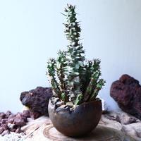 ユーフォルビア   ホリダ モンスト    Euphorbia horrida f. monstruosa   no.008