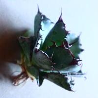 アガベ チタノタ ブラック&ブルー Agave titanota black&bule   no.20903