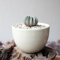 ゲオヒントニア    メキシカーナ  no.008  Geohintonia mexicana