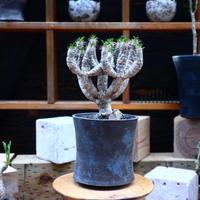 ユーフォルビア  ギラウミニアナ/Euphorbia guillauminiana  no.72544