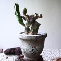 ロフォケレウス  福禄寿   Lophocereus schottii   no.81917
