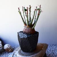 アデニア   スピノーサ   Adenia     spinosa    no.40721