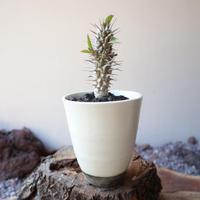 ユーフォルビア   ディディエレオ イデス  no.005   Euphorbia didiereoides