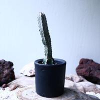ユーフォルビア アブデルクリ   Euphorbia abdelkuri   no.102737