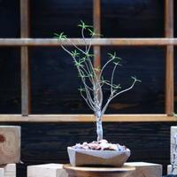 ユーフォルビア   バルサミフェラ/Euphorbia balsamifera   no.101051