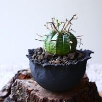 ユーフォルビア  バリダ    Euphorbia valida   no.72913