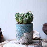 縮玉   Echinofossulocactus zacatecasensis    no.90810