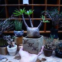 パキポディウム  グラキリス/Pachypodium  gracilius       no.52322