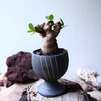 ユーフォルビア    イトレメンシス    Euphorbia itremensi  no.71433