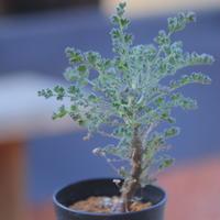 ペラルゴニム   アルテルナンス   Pelargonium alternans      no.20725-1