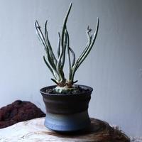 アストロフィツム カプト メデューサ 接木 Astrophytum caputmedusae    no.71425