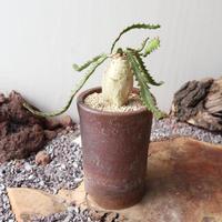 ユーフォルビア ステラータ   no.005    Euphorbia stellata